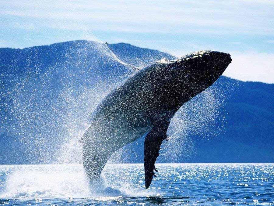 Синий кит и другие представители китовых. Фото.