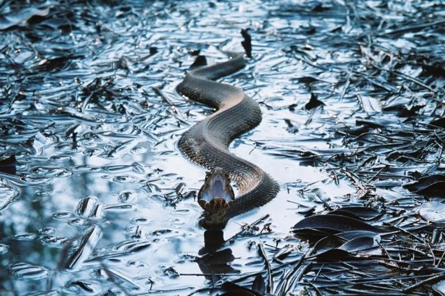 змеи водяной рисунок 2013 черной