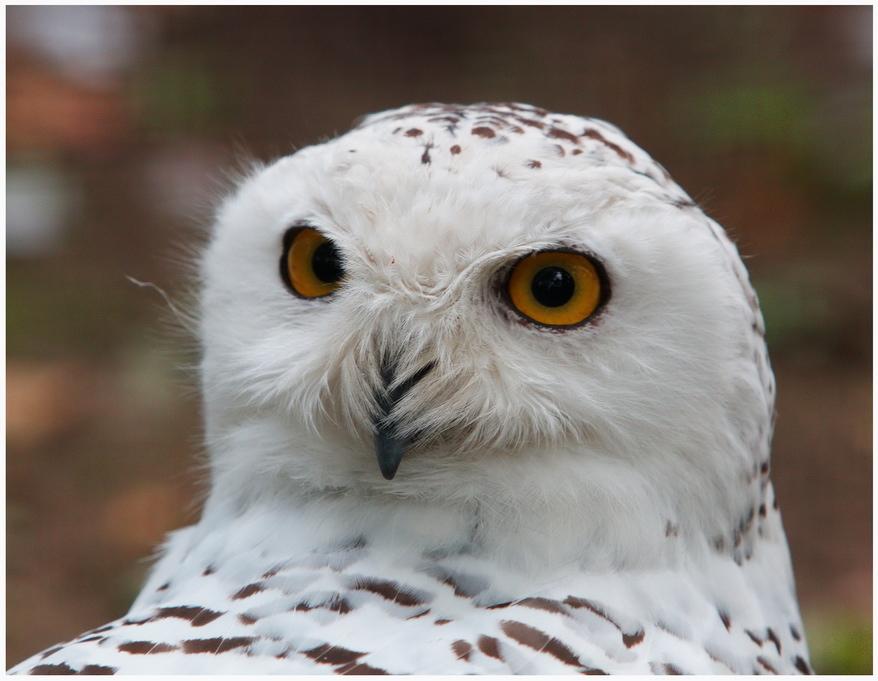Полярная сова и описание для детей 36