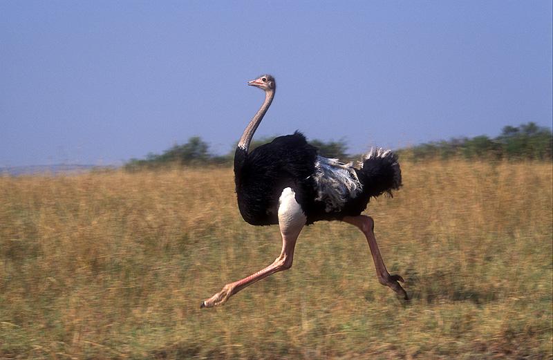 1348519061 ostrich1
