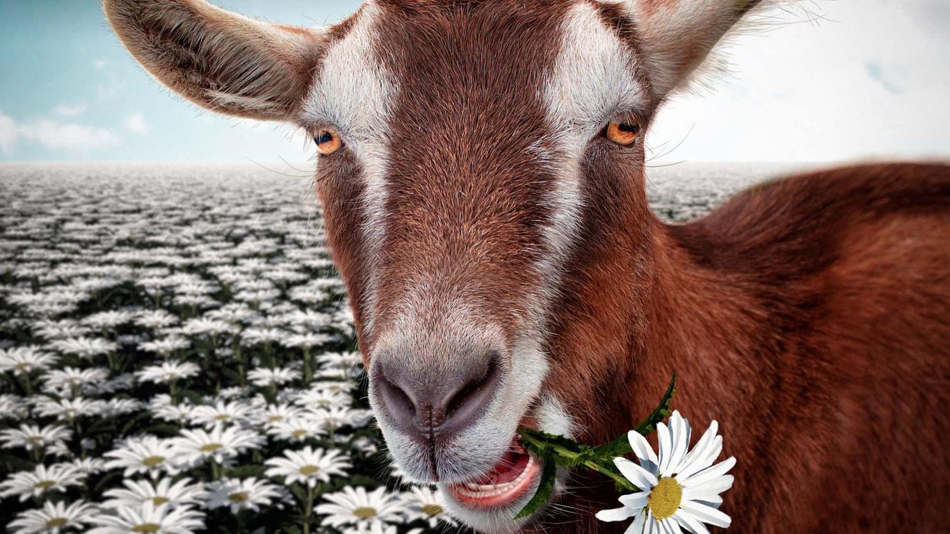 год козы обои на рабочий стол № 528533  скачать
