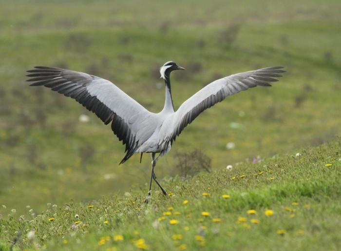 фото журавль птица