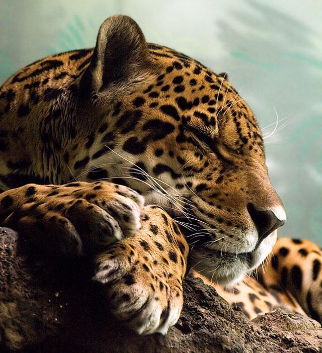 Амурский тигр информация о амурском тигре обитание