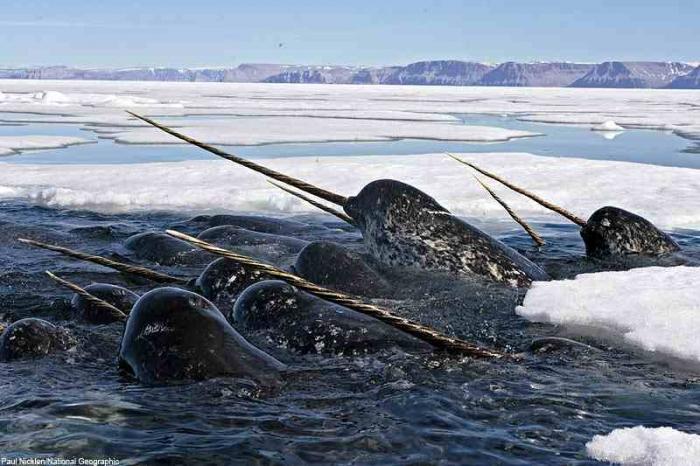 Кто живет в северном ледовитом океане