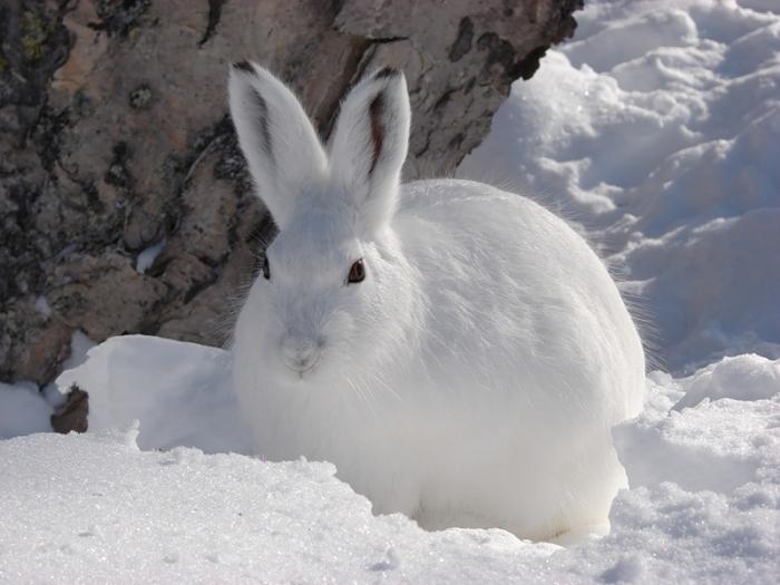 Картинки по запросу заяц беляк