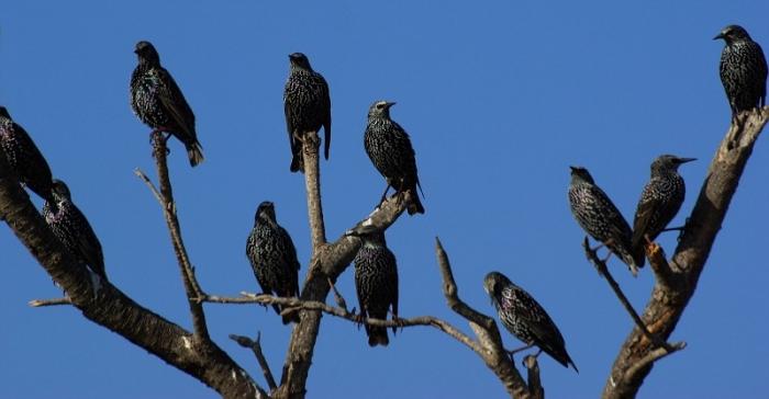 скворец птица пение слушать