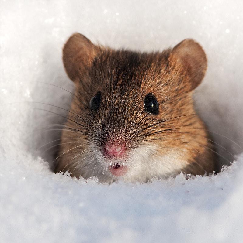 Мышь животное