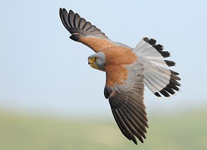 птицы пустельга фото