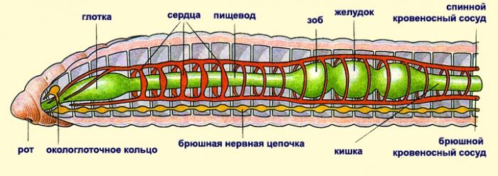 Кольчатые черви строение картинка