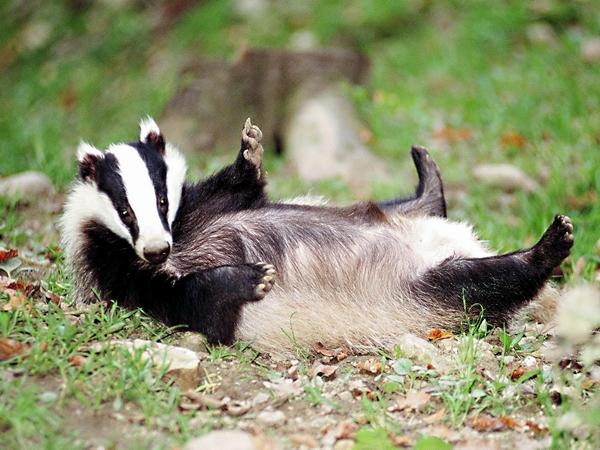 Животное барсук: описание жизни с фото и картинками, зимняя спячка, видео охоты
