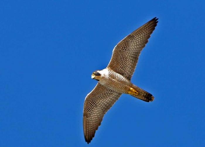 сокол птица фото и описание