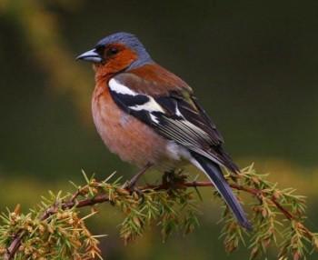 зяблик птица фото и описание
