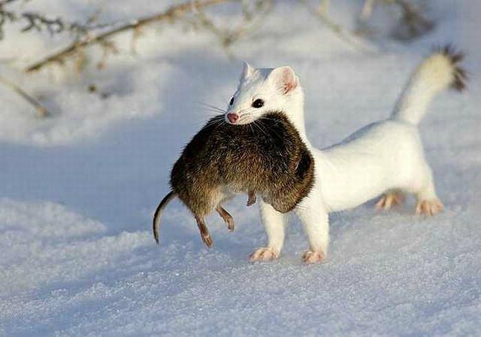 Животные тундры горностай доклад 9943