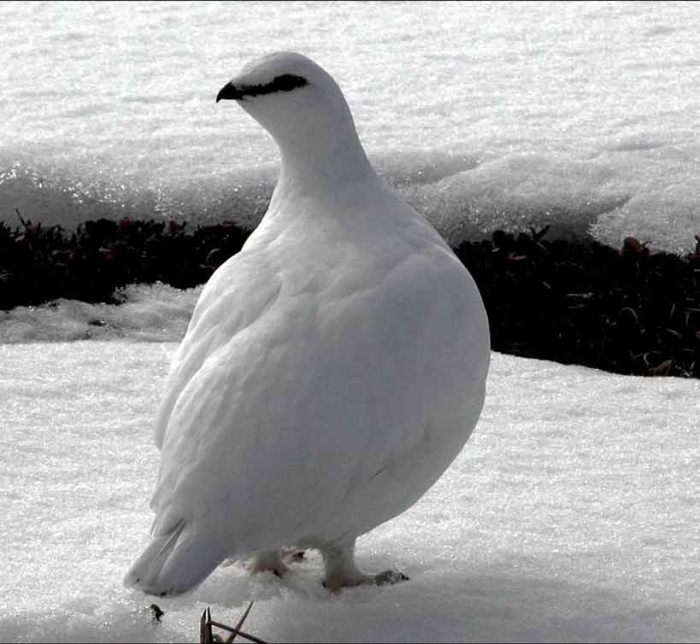 куропатка фото белая
