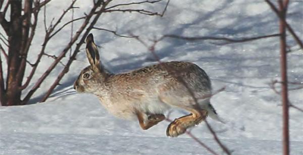 заяц животное