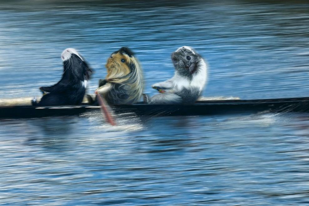 Красивые картинки морских свинок