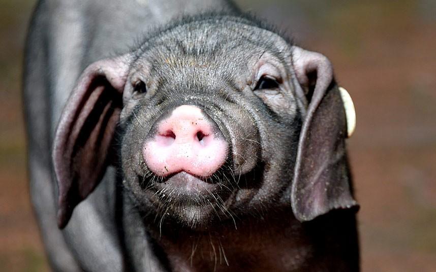 Картинки новогодние свинки 2019 - красивые, смешные и прикольные заставки