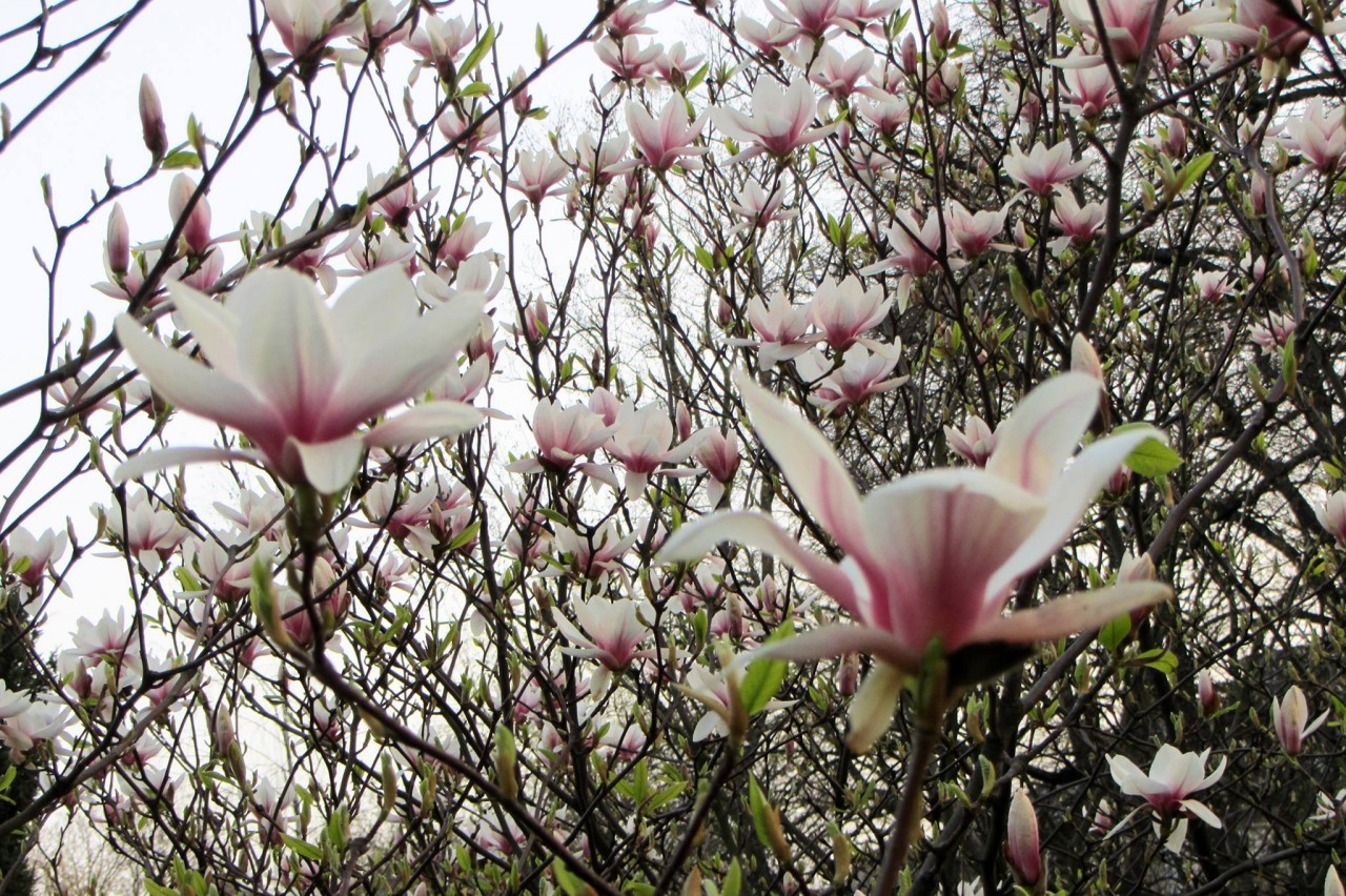 В Ужгороде цветут магнолии
