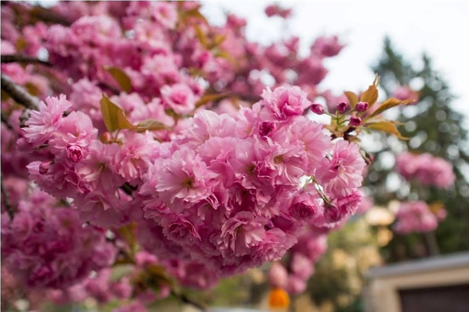 В Ужгороде цветут сакуры